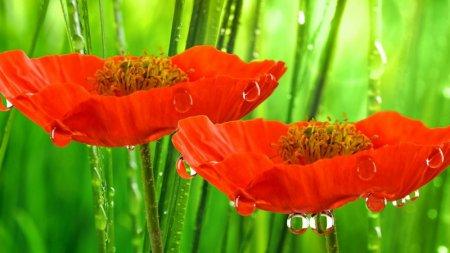 Красные маки в парфюмерии
