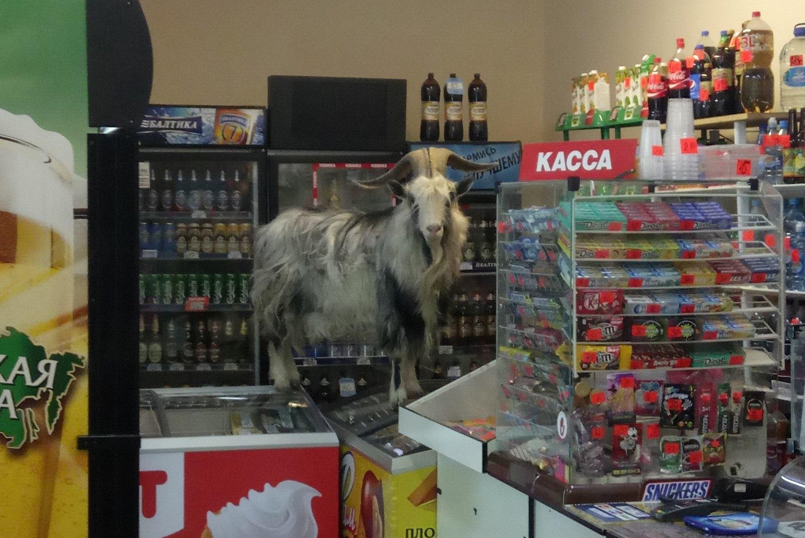 Рыба в носках, козел в магазине и мужик в детской карусели: курьезы 2017 года в Вологодской области
